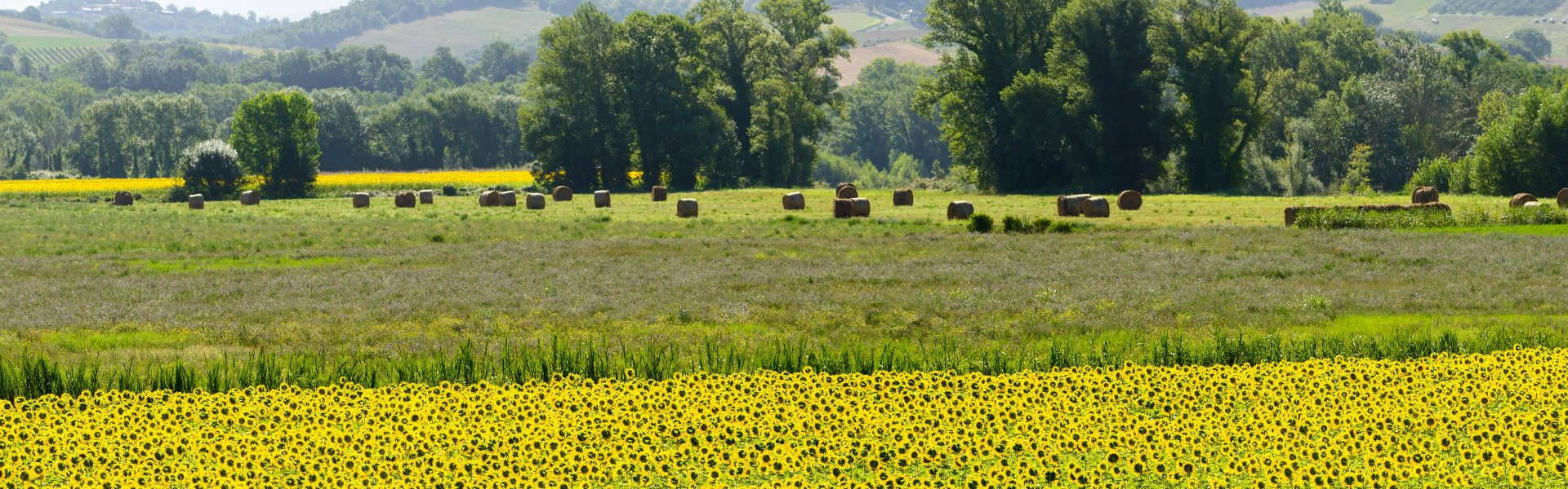 Field of sunflowers in Maremma (Tuscany, Italy) at summer
